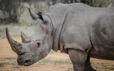 WHEN A RHINO DECIDES HE'S NOT MOVING …. HE'S NOT MOVING!
